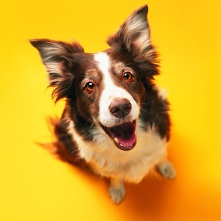Border Collie, Funny Dog Wallpaper